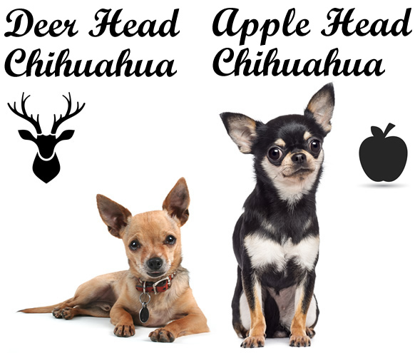 Deer head vs apple head Chihuahua
