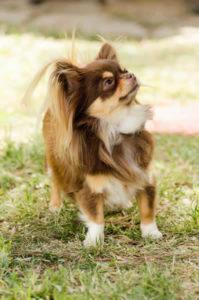 Long-coat Chihuahua shedding