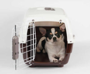 Chihuahua restrained in a crate for car ride