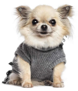 Chihuahua wearing gray shirt