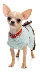 Chihuahua wearing a sweater