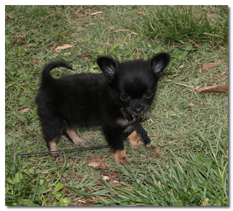 How To Raise A Chihuahua Puppy
