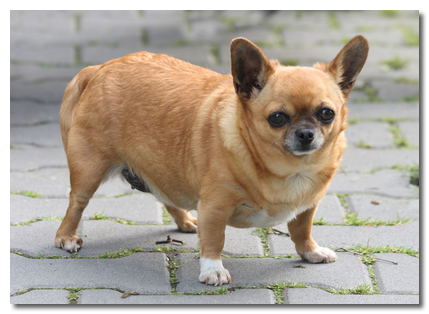 chihuahua fat how to help an obese chihuahua lose weight 9134