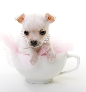Teacup Chihuahuas Separating The
