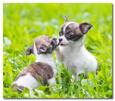 Chihuahua Potty-Training and Housebreaking