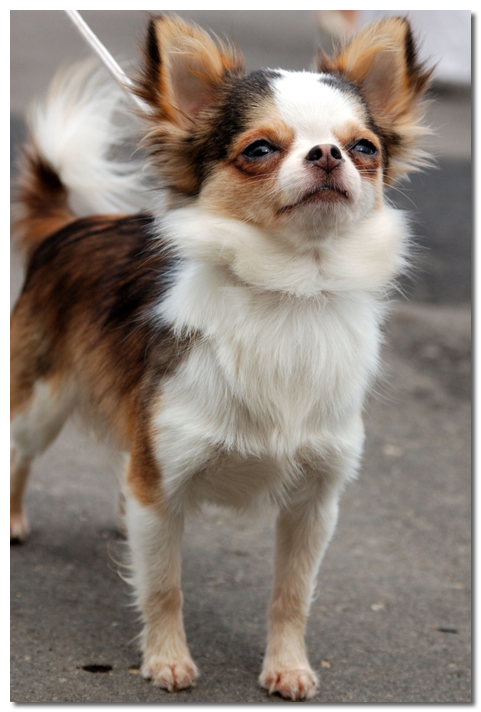 life expectancy of chihuahua chihuahua lifespan average life expectancy of the chihuahua 4600