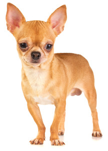 Chihuahua Names Top 100 Boy And